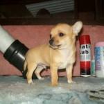 505033 caes da raca chihuahua fotos 8 150x150 Cães da Raça Chihuahua: fotos