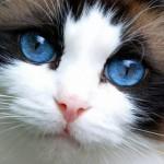 508230 gato com olho azul fotos 16 150x150 Gatos com olho azul, fotos