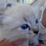 508230 gato com olho azul fotos 17 150x150 Gatos com olho azul, fotos