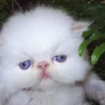 508230 gato com olho azul fotos 19 150x150 Gatos com olho azul, fotos