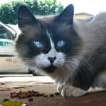 508230 gato com olho azul fotos 24 150x150 Gatos com olho azul, fotos