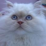 508230 gato com olho azul fotos 25 150x150 Gatos com olho azul, fotos