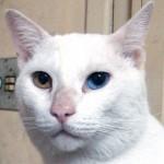 508230 gato com olho azul fotos 9 150x150 Gatos com olho azul, fotos