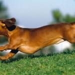 509316 fotos de caes da raca dachshund 1 150x150 Fotos de cães da raça Dachshund