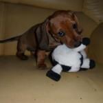 509316 fotos de caes da raca dachshund 10 150x150 Fotos de cães da raça Dachshund