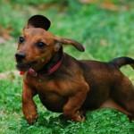 509316 fotos de caes da raca dachshund 11 150x150 Fotos de cães da raça Dachshund