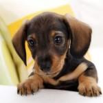 509316 fotos de caes da raca dachshund 15 150x150 Fotos de cães da raça Dachshund