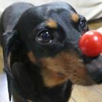 509316 fotos de caes da raca dachshund 17 150x150 Fotos de cães da raça Dachshund