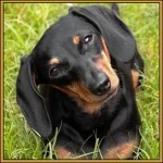 509316 fotos de caes da raca dachshund 21 150x150 Fotos de cães da raça Dachshund