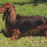 509316 fotos de caes da raca dachshund 29 150x150 Fotos de cães da raça Dachshund