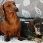 509316 fotos de caes da raca dachshund 30 150x150 Fotos de cães da raça Dachshund