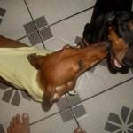 509316 fotos de caes da raca dachshund 31 150x150 Fotos de cães da raça Dachshund
