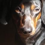 509316 fotos de caes da raca dachshund 33 150x150 Fotos de cães da raça Dachshund