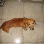 509316 fotos de caes da raca dachshund 5 150x150 Fotos de cães da raça Dachshund