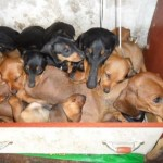 509316 fotos de caes da raca dachshund 6 150x150 Fotos de cães da raça Dachshund