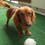 509316 fotos de caes da raca dachshund 8 150x150 Fotos de cães da raça Dachshund