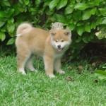 509359 fotos de caes da raca akita 11 150x150 Fotos de cães da raça Akita