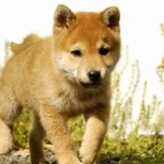 509359 fotos de caes da raca akita 12 150x150 Fotos de cães da raça Akita