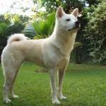 509359 fotos de caes da raca akita 14 150x150 Fotos de cães da raça Akita