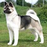 509359 fotos de caes da raca akita 2 150x150 Fotos de cães da raça Akita