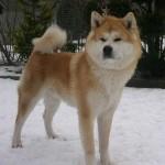 509359 fotos de caes da raca akita 22 150x150 Fotos de cães da raça Akita