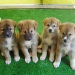 509359 fotos de caes da raca akita 29 150x150 Fotos de cães da raça Akita