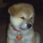 509359 fotos de caes da raca akita 32 150x150 Fotos de cães da raça Akita