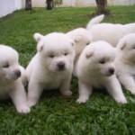 509359 fotos de caes da raca akita 7 150x150 Fotos de cães da raça Akita