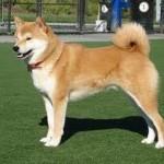 509359 fotos de caes da raca akita 9 150x150 Fotos de cães da raça Akita