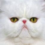 509976 fotos de gato persa 12 150x150 Fotos de gatos persa