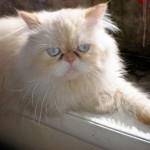 509976 fotos de gato persa 13 150x150 Fotos de gatos persa