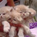 509976 fotos de gato persa 16 150x150 Fotos de gatos persa