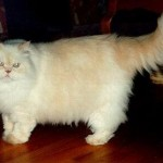 509976 fotos de gato persa 17 150x150 Fotos de gatos persa