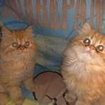 509976 fotos de gato persa 18 150x150 Fotos de gatos persa