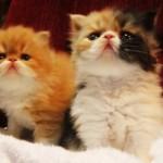 509976 fotos de gato persa 24 150x150 Fotos de gatos persa