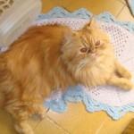509976 fotos de gato persa 25 150x150 Fotos de gatos persa