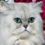 509976 fotos de gato persa 29 150x150 Fotos de gatos persa