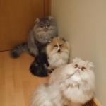 509976 fotos de gato persa 32 150x150 Fotos de gatos persa