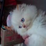 509976 fotos de gato persa 4 150x150 Fotos de gatos persa