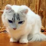 510068 fotos de gatos angora 13 150x150 Fotos de gatos angorá