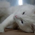 510068 fotos de gatos angora 15 150x150 Fotos de gatos angorá