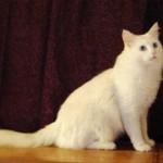 510068 fotos de gatos angora 17 150x150 Fotos de gatos angorá