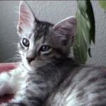 510068 fotos de gatos angora 18 150x150 Fotos de gatos angorá