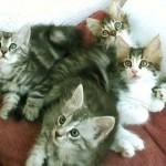 510068 fotos de gatos angora 19 150x150 Fotos de gatos angorá