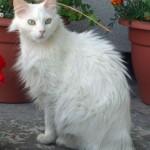 510068 fotos de gatos angora 21 150x150 Fotos de gatos angorá