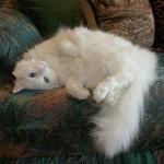 510068 fotos de gatos angora 24 150x150 Fotos de gatos angorá