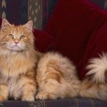 510068 fotos de gatos angora 25 150x150 Fotos de gatos angorá