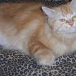 510068 fotos de gatos angora 26 150x150 Fotos de gatos angorá