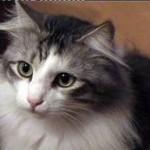 510068 fotos de gatos angora 3 150x150 Fotos de gatos angorá