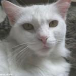 510068 fotos de gatos angora 5 150x150 Fotos de gatos angorá